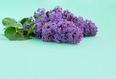 Lilac flowers on a blue background