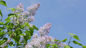 Lilac flowers and blue sky. Lilac flowers bloom during spring time with blue clear sky background stock video footage