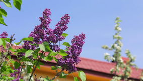 Lilac flowers, blue sky and red roof in background. Lilac flowers bloom during spring time with blue clear sky and red roof in background stock video footage