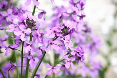 Lilac flowers on a bluring background. Lilac flowers blooming on a bluring background stock photos