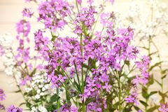 Lilac flowers on a bluring background. Lilac flowers blooming on a bluring background royalty free stock photo
