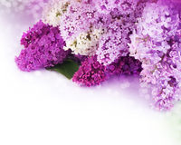 Lilac flowers bouquet. Beautiful border of Lilac flowers isolated on white