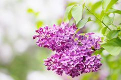 Lilac flowers branch macro view. Bush with blooming small pink flowers, green leaves. Spring nature scene. soft focus Stock Photo