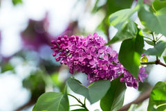 Lilac flowers branch Royalty Free Stock Photo