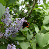 Lilac flowers on the branches of a butterfly admiral. Insect pollinators Stock Image