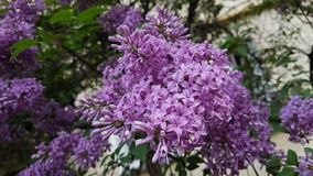 Lilac flowers. Lilac flowers on the branches of a tree in spring Stock Images