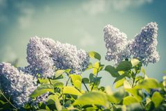 Lilac flowers, branches in vintage, romantic style. Lilac flowers branches in vintage, romantic style in the summer Stock Images