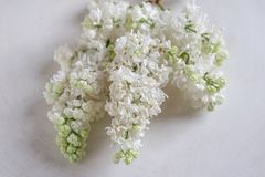 Lilac flowers bunch in a basket over blurred wood background. White Lilac flowers bunch in a basket over blurred wood background stock images