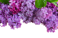 Lilac flowers. Bunch  of lilac flowers border isolated on white background Royalty Free Stock Photos
