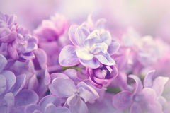Lilac flowers bunch violet art design Stock Image