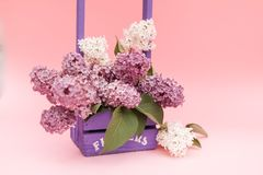 Lilac flowers bunch in a violet wooden basket over pink background. Beautiful violet Lilac flower still life Easter border design. On wooden table royalty free stock images