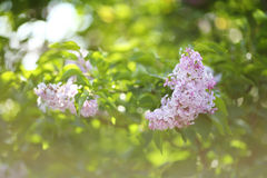 Lilac flowers on the bush Stock Photography