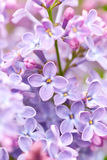 Lilac flowers close up Stock Image