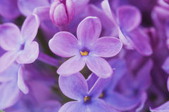 Lilac flowers close up Royalty Free Stock Photos