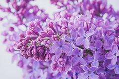 Lilac flowers close up Royalty Free Stock Image