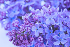 Lilac flowers close up Stock Photo