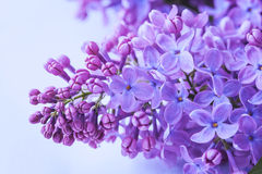 Lilac flowers close up Stock Images