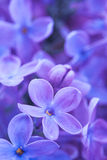 Lilac flowers close up Royalty Free Stock Photography