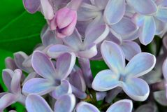 Lilac flowers close-up. Lilac blooms, flowers close - up, blooming in the springn stock photo