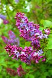 Lilac flowers. Close up of lilac flowers in a garden Stock Photos
