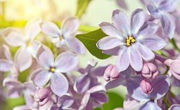 Lilac flowers close up in pastel colors Royalty Free Stock Image