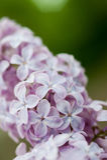 Lilac flowers. close. Stock Photos