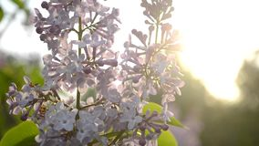 Lilac flowers close up at sunset. HD, 1080 stock video