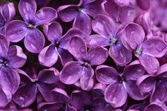 Lilac flowers closeup Stock Photo