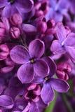 Lilac flowers closeup Stock Photography