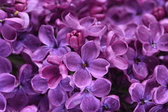 Lilac flowers closeup Stock Image
