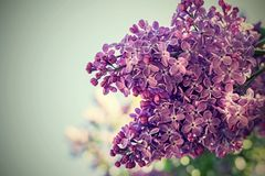 Lilac flowers closeup with a digital retro effect Royalty Free Stock Photo