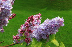 Lilac Flowers Closeup Royalty Free Stock Image