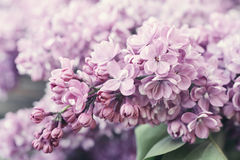 Lilac flowers. Closeup. Spring time concept Stock Photography