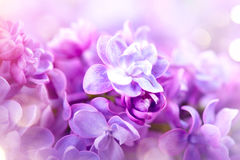Lilac flowers closeup. Violet lilac flowers art design Royalty Free Stock Image
