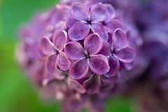 Lilac flowers. A cluster of lilac flowers Stock Photo