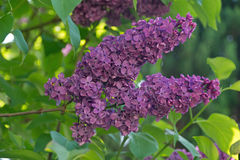 Lilac flowers. A cluster of lilac flowers Royalty Free Stock Photo