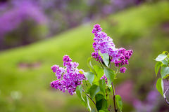 Lilac flowers. Couple of Lilac flower in garden Royalty Free Stock Image