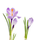 Lilac flowers crocus Royalty Free Stock Image
