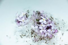 Lilac flowers and dandelion seeds. Lilac flowers and dandelion seeds on a white background. A good combination, the flowers seem to be under a soft quilt of royalty free stock image