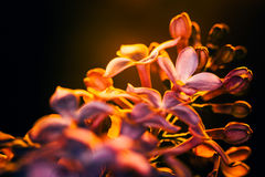 Lilac flowers on a dark background at sunset close-up. Lilac flowers on a dark background  at sunset close-up Royalty Free Stock Photography