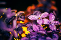 Lilac flowers on a dark background at sunset close-up in drops o. Lilac flowers on a dark background  at sunset close-up in drops of dew Royalty Free Stock Image
