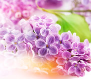 Lilac flowers. Floral background Stock Photography