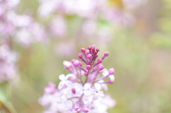 Lilac. Flowers, fragrance, spikes, and very beautiful Stock Images