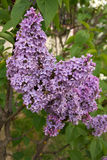Lilac flowers. In full bloom Stock Images