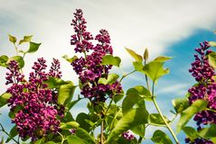 The lilac flowers. Lilac flowers in the garden. The lilac flowers. Lilac in the garden royalty free stock image