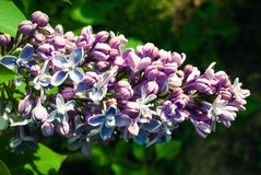 Lilac flowers. Lilac flowers in the garden. The lilac flowers. Lilac flowers in the garden Royalty Free Stock Photos