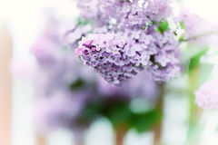 Lilac flowers in the garden. Royalty Free Stock Images