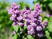 Lilac flowers in garden Stock Images