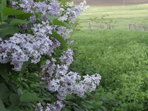 Lilac. Flowers on the Grass Royalty Free Stock Photo