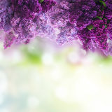 Lilac flowers on green Royalty Free Stock Photo